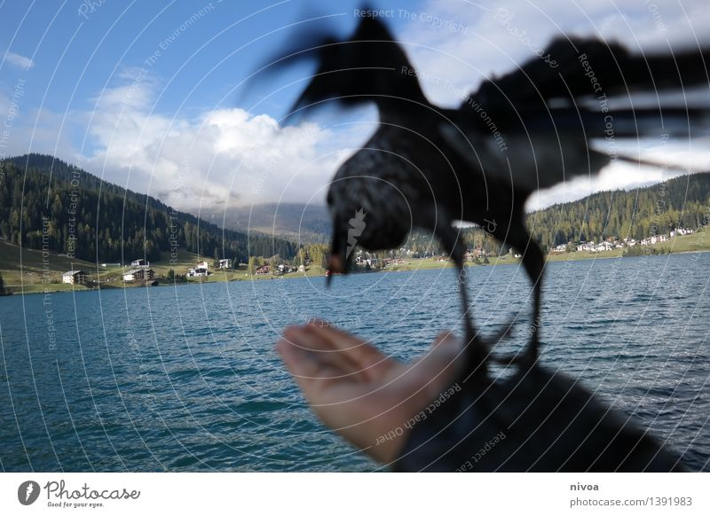 departure Grain Nutrition Hand Nature Water Sky Clouds Autumn Mountain Lake Davos Outskirts Lanes & trails Animal Bird Wing nutcracker 1 Eating Flying Feeding