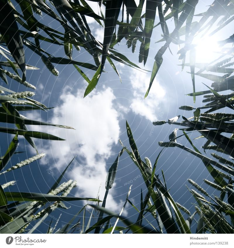 Sunbeam Clouds Under Grass Wheat Green Biology Organic Plant Ecological Electricity Alternative Summer Fresh Physics Calm Boredom Ear of corn Wide angle Sky