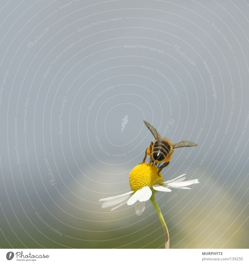 White Flower Black Nutrition Animal Yellow Blossom Hind quarters Wing Insect Bee Pollen Honey Stamen Chamomile Nectar