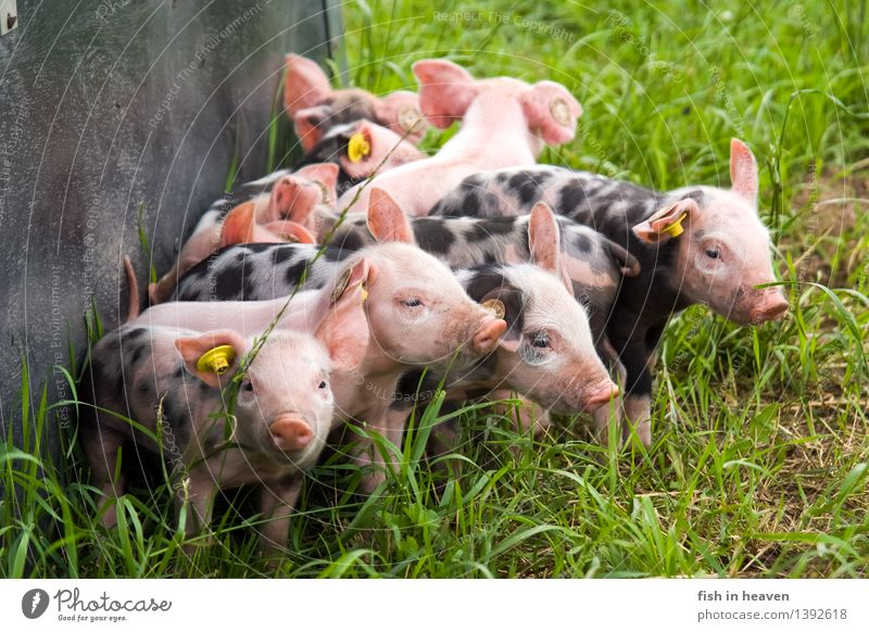 Landscape Animal Baby animal Meadow Playing Growth Happiness Group of animals Cute Agriculture Forestry Herd Swine Farm animal Piglet Free-roaming