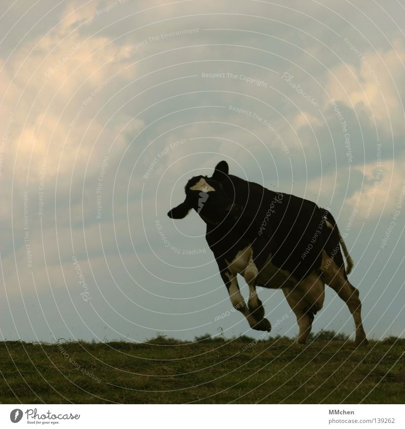 ShakeShake Cow Meadow Jump Happiness Clouds White Green Black Spotted mountain cattle Udder Elapse Sky Mammal Wild animal Joy Freedom Blue duckel motley-black