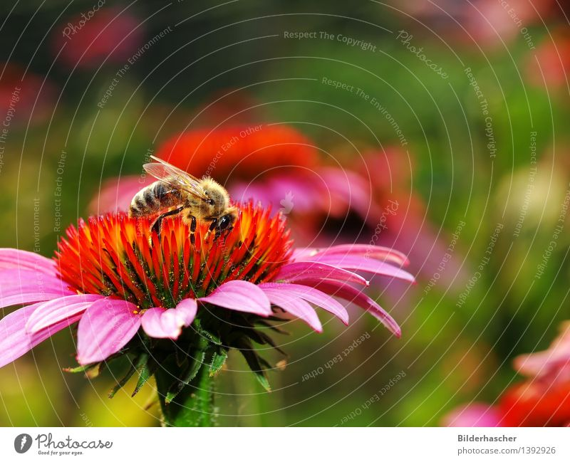 collector Bee Flower Blossom Botany Exterior shot Plant Nature Beautiful Summer Wing Compound eye Pink Orange Daisy Family Purple cone flower