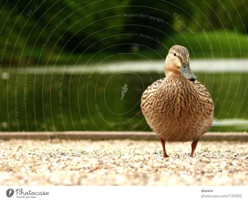 Garden Lake Park Bird Feather Wing Pond Duck Beak Gravel Squeak duck Domestic duck Drake Downy feather Waddle Mallard
