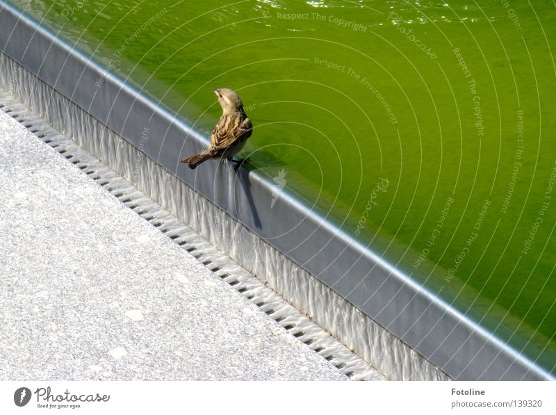 In Dresden, a little sparrow sits on the edge of the fountain and considers whether he wants to drink or not Iron Concrete Well Beak Drainage birds Sparrow