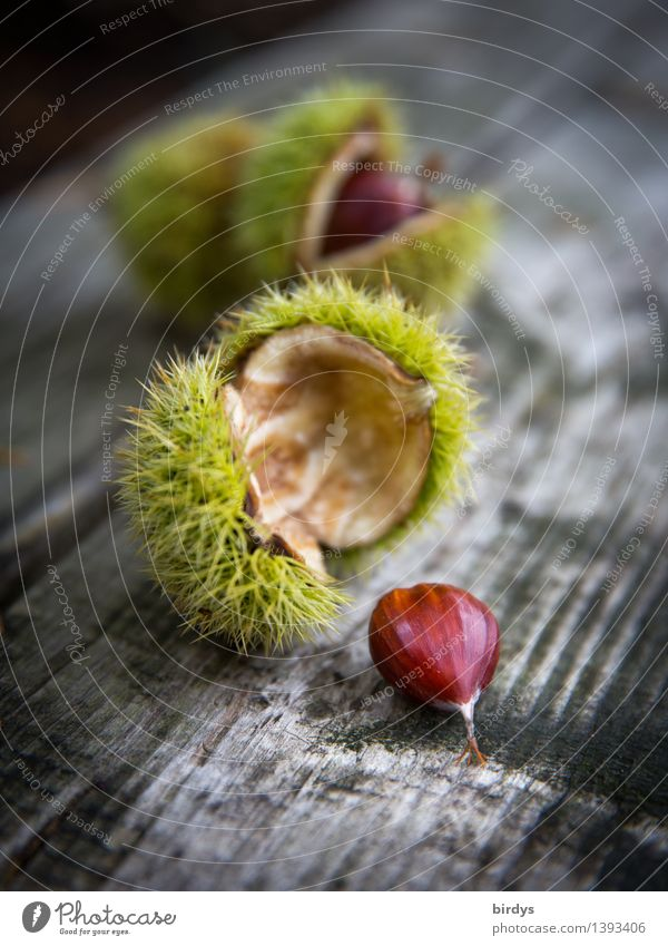 chestnuts Fruit Sweet chestnut Tree fruit Nutrition Autumn Wild plant Seed Chestnut Wood Esthetic Delicious Natural Positive Thorny Brown Yellow Gray Calm