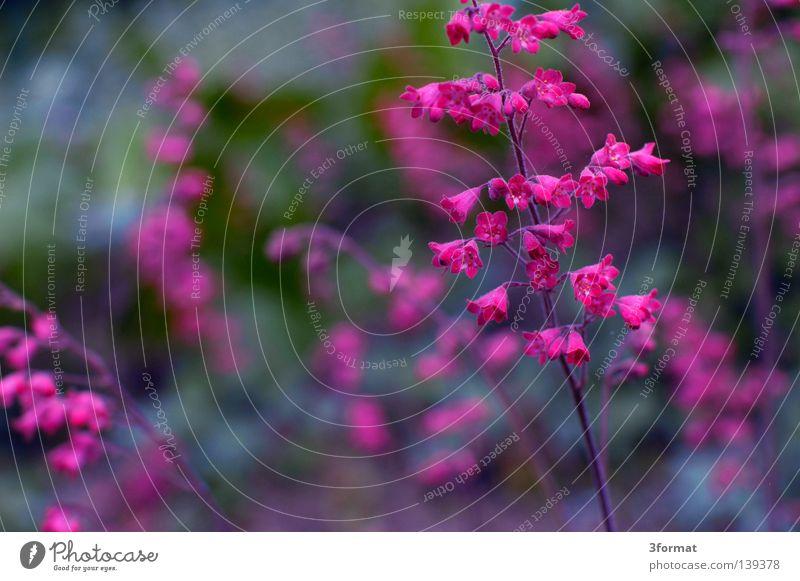 Nature Green Plant Flower Life Gray Blossom Spring Park Pink Glittering Beginning Multiple Crazy Floor covering Many