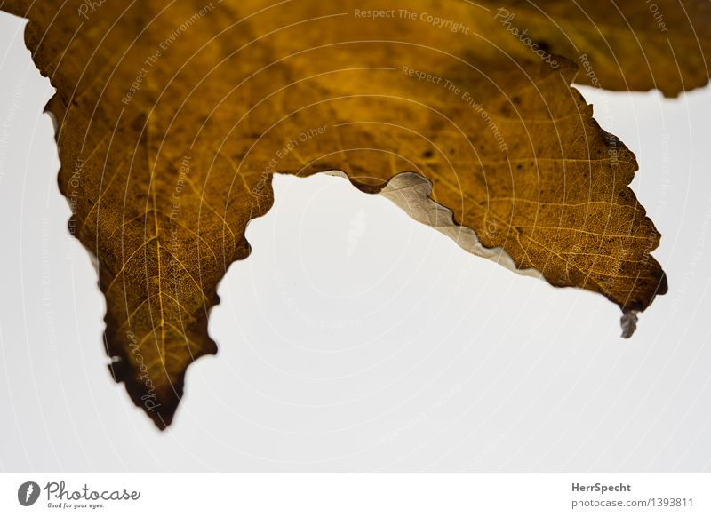 Autumn with text space Nature Leaf Foliage plant Esthetic Natural Brown White Transience Autumn leaves Autumnal colours Metamorphosis Change Rachis Maple leaf