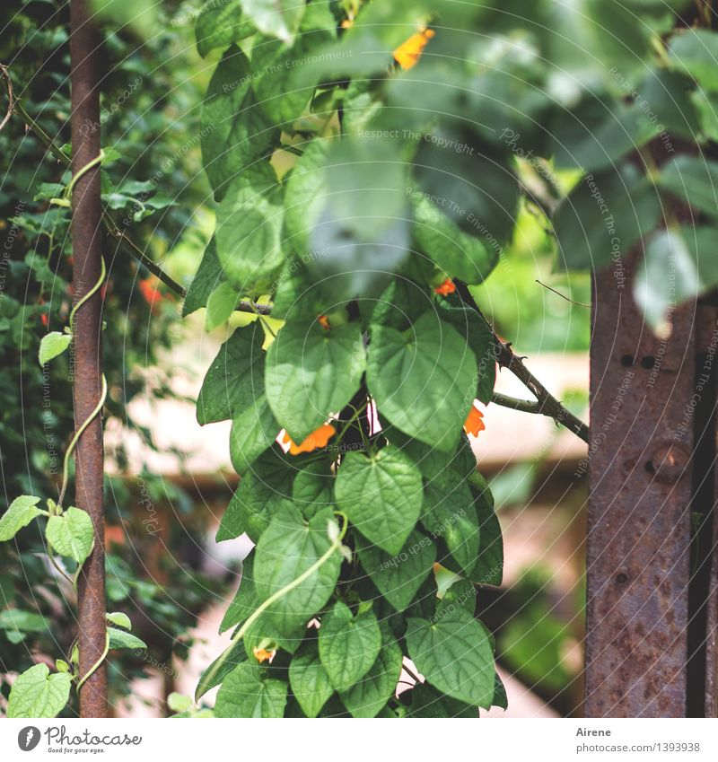 0815 AST | ranking Plant Leaf Blossom Foliage plant Creeper Garden Garden door Grating Metal Rust Hang Growth Green Orange Blossoming Climbing Tendril
