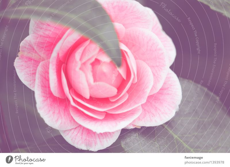 perfection Nature Plant Winter Flower Rose Garden Beautiful Romance Rose blossom Pink Perfect light pink Colour Dark green Dull Blossoming Blossom leave Open