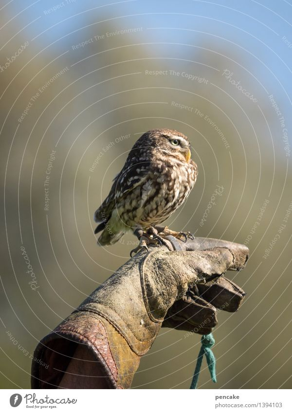 small bore Sky Forest Animal Wild animal Bird 1 Exceptional Owl birds Strix Eurasian Pygmy Owl Small Dangerous Thief Bird of prey Sit Observe Hand Gloves