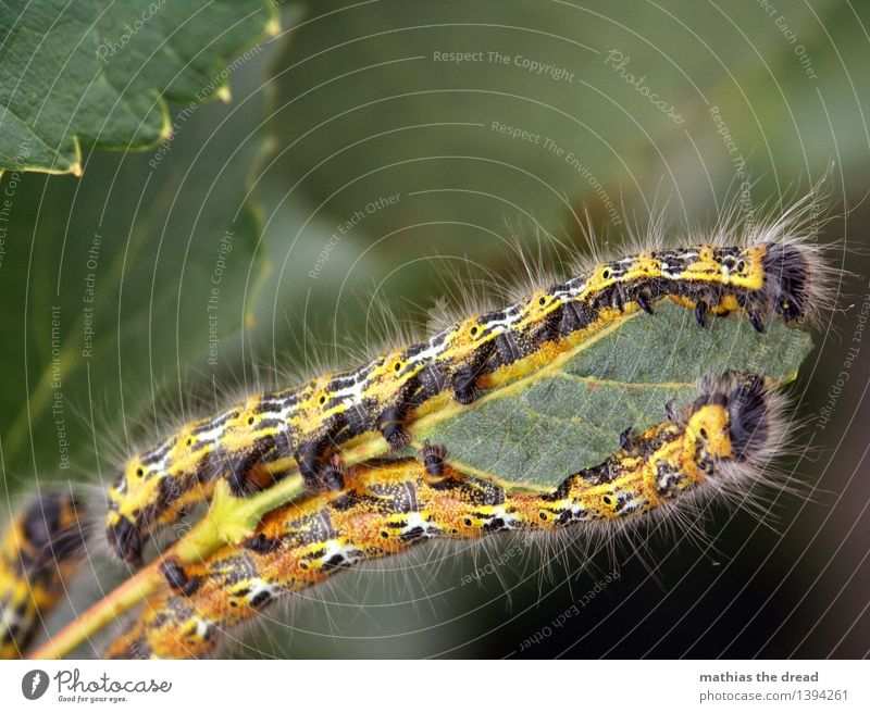 caterpillar Environment Nature Plant Leaf Animal Caterpillar 2 Eating Yellow Insect Hair Legs Cute Disgust To feed Colour photo Exterior shot Close-up Deserted