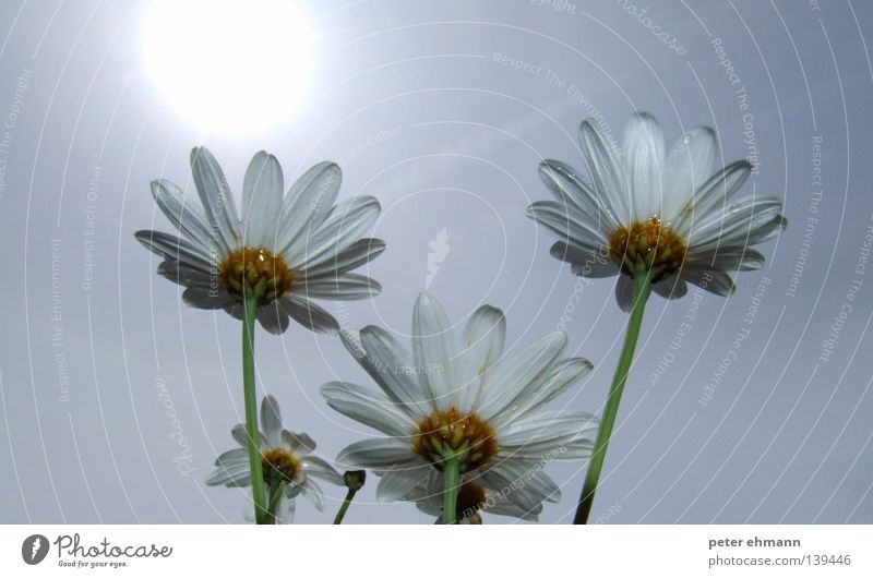 White Sun Flower Summer Blossom Warmth Lighting Power 3 Energy industry Growth Physics Stalk Blossoming Daisy Marguerite