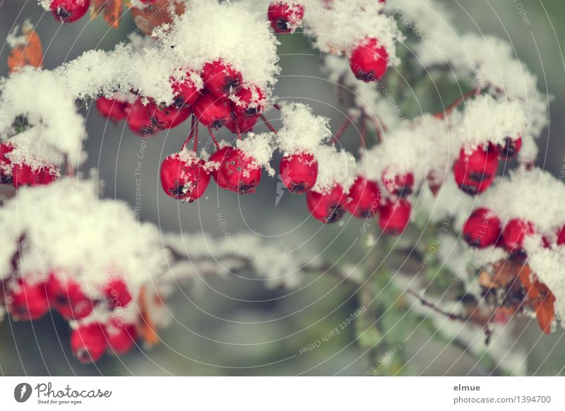 Nature White Red Cold Environment Snow Fruit Design Elegant Energy To enjoy Round Change Frost Surprise Sphere