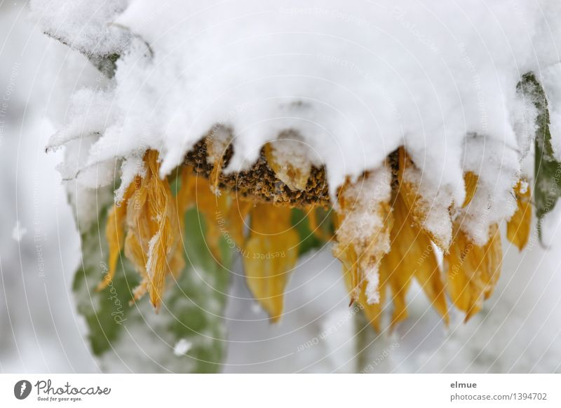 Plant White Flower Loneliness Calm Cold Yellow Sadness Blossom Snow Exceptional Ice Blonde Climate Transience Break