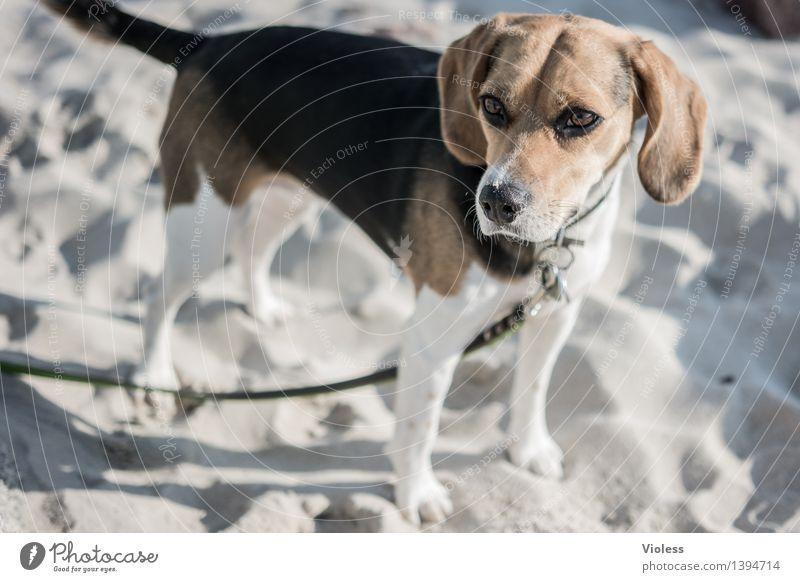 Dog Animal Depth of field Dog lead Beagle