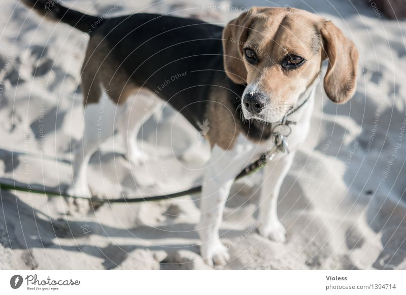 What's up? Here we go. Dog Dog lead Beagle Animal Depth of field Animal portrait