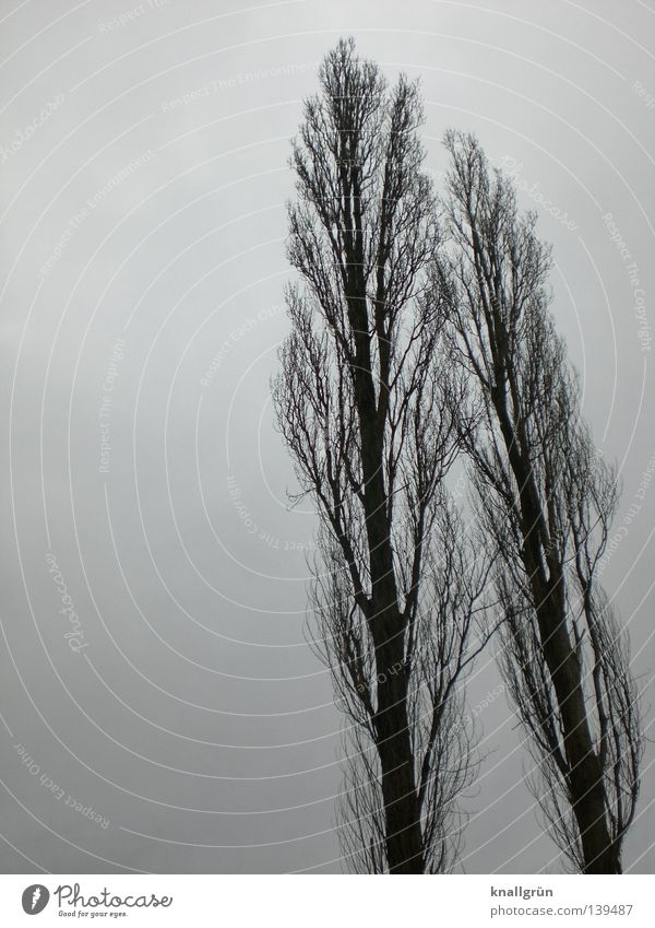 wind misalignment Tree Poplar Winter 2 Dreary Gray Seasons Bad weather Together Side by side Wood Long Large Sky Tree trunk Branch Twig Lean Blue Clouds tall
