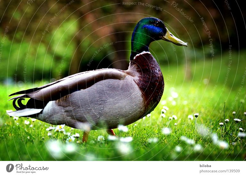 duck march Drake Bird Waddle Feather Meadow Spring Spring flower Green Juicy Flower Daisy White Emotions Duck waterfowl Americas Pride Multicoloured