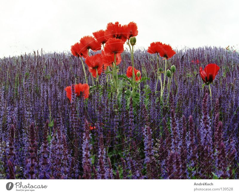 Nature Blue Plant Red Colour Blossom Landscape Poppy Brandenburg Potsdam Play of colours Medicinal plant Corn poppy Sage Weed Labiate