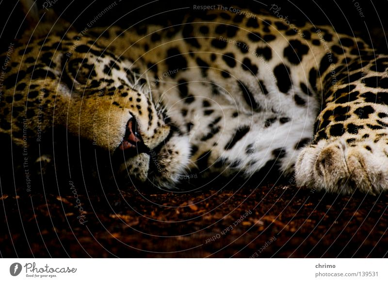 OS X Zoo Living thing Land-based carnivore Big cat Cat Panther Carnivore Pattern Camouflage Mammal Sleep Point Lie Animal portrait Animal face Calm Dappled