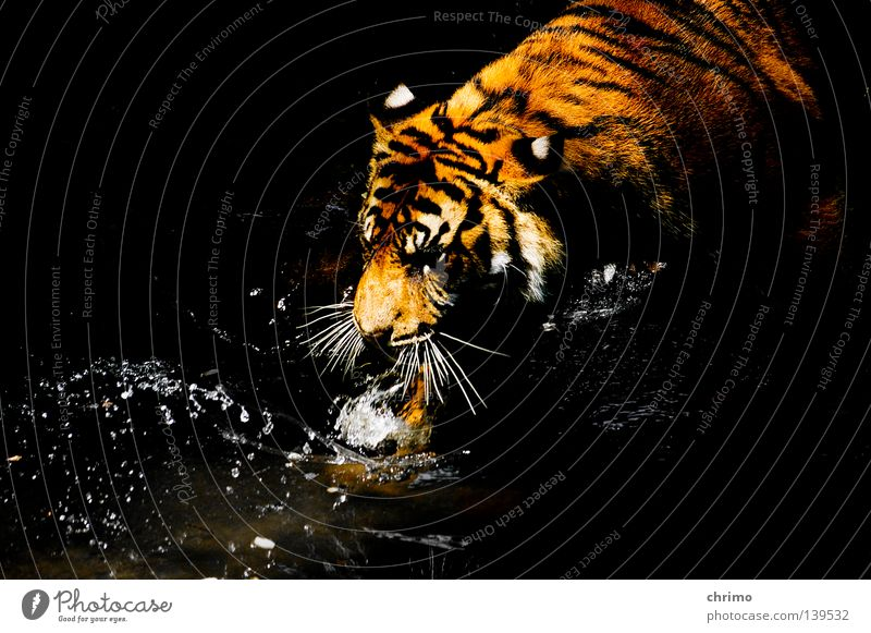 Jesus Christ Tiger Zoo Cage Living thing Land-based carnivore Big cat Cat Panther Carnivore Pattern Camouflage Adequate Mammal Sleep pendulous animal species