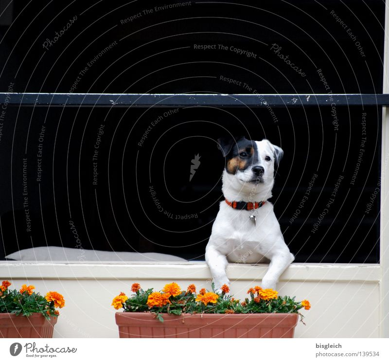Dog in the window White Flower Joy Black Animal Window Wait Longing Concentrate Mammal Wanderlust Laws and Regulations Window box Tenancy law