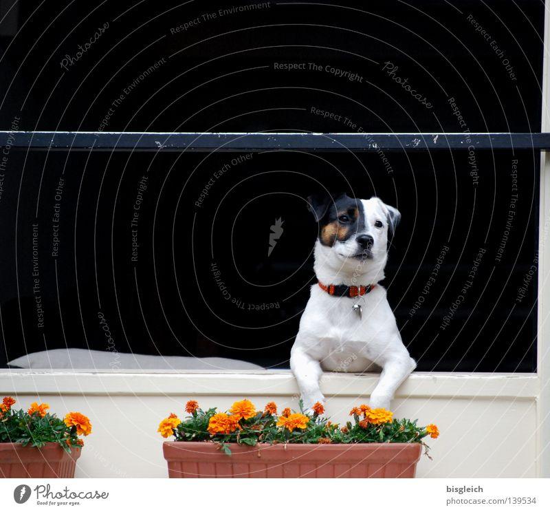 White Flower Joy Black Animal Window Dog Wait Longing Concentrate Mammal Wanderlust Laws and Regulations Window box Tenancy law