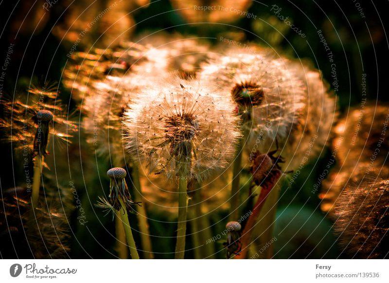 dandelion Dandelion Sunset Back-light Nature Summer Gold Plant