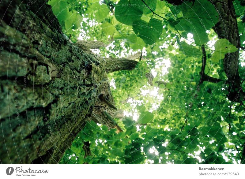 up the tree Tree trunk Tree bark Leaf Light Beech tree Tall Upward Sky
