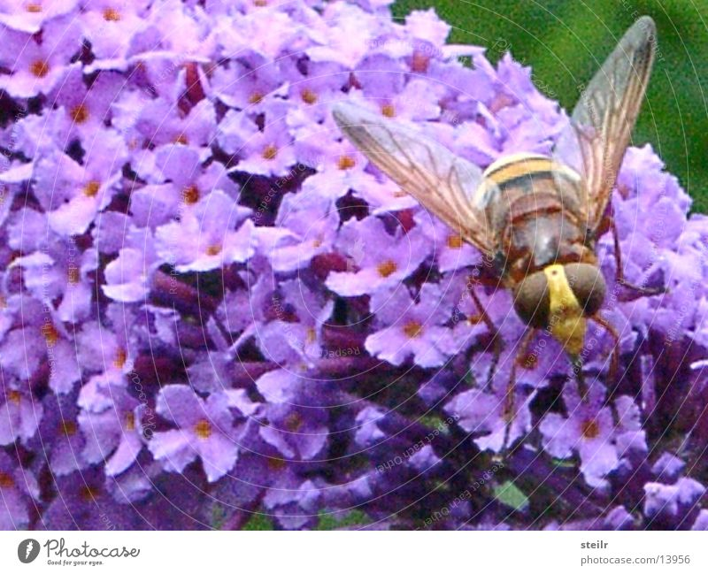 Macroshot flying critters in sleep mode Wasps Hover fly Lilac Zoom effect Animal Insect Blossom macro recording