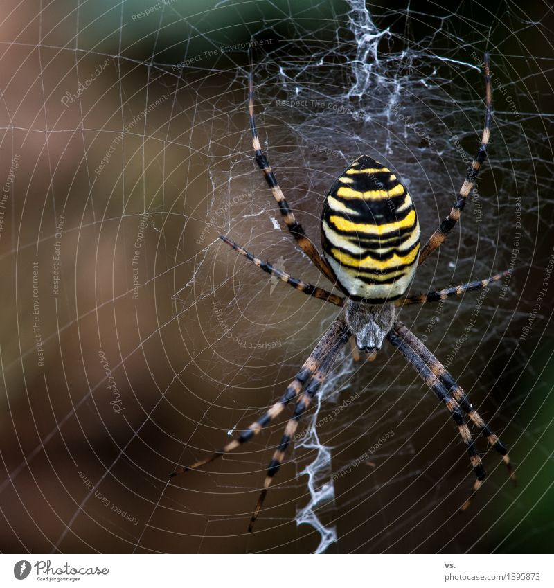 I think I'm crazy. Landscape Animal Air Grass Bushes Meadow Field Forest Wild animal Spider Black-and-yellow argiope 1 Build To feed Disgust Natural Yellow