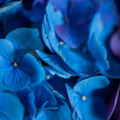 Yes so blue blue blue.... Style Garden Decoration Room Living room Mother's Day Nature Plant Flower Blossom Hydrangea Hydrangea blossom Hydrangea leaf Bouquet