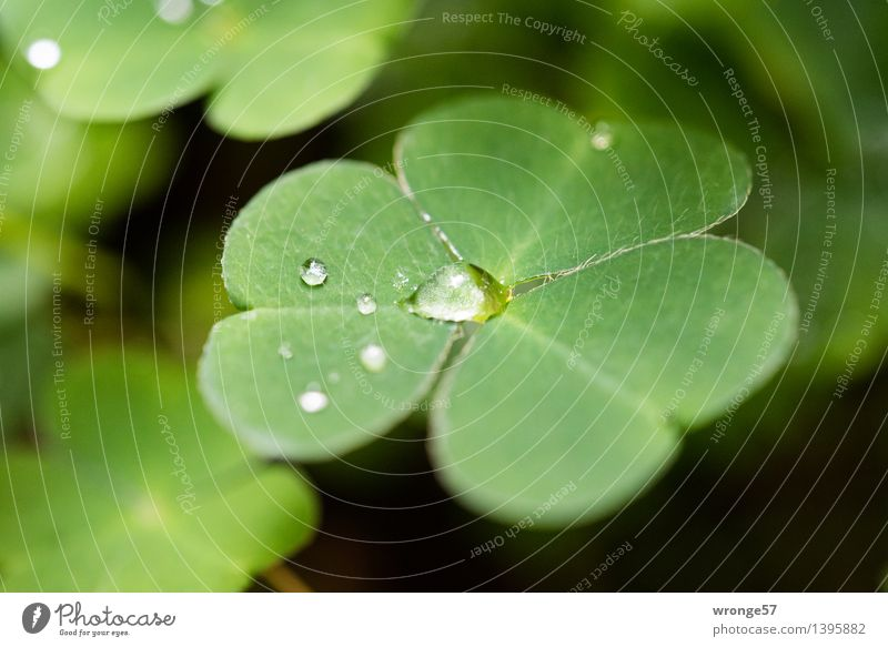 Nature Plant Green Water Leaf Forest Black Autumn Small Drops of water Foliage plant Woodground Cloverleaf Clover Diminutive Four-leafed clover