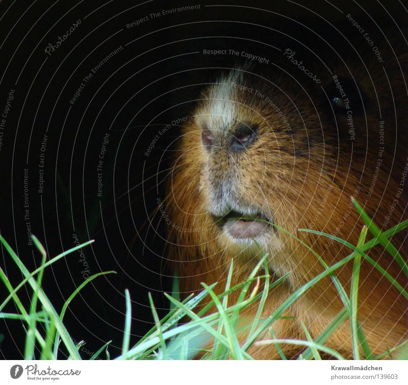Clearly in the lead Guinea pig Lips Whisker Nostril Dark Grass Blade of grass Foliage plant Feed Timidity Fear Brave Arrogant Majestic Dominant Curiosity Alert