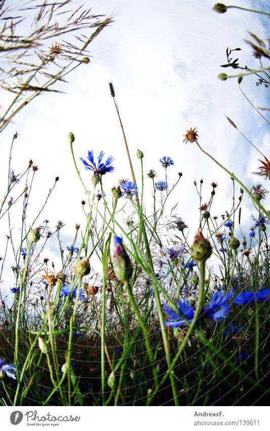 Nature Blue Summer Relaxation Meadow Blossom Field Blossoming Grain Cornfield Cornflower Illness