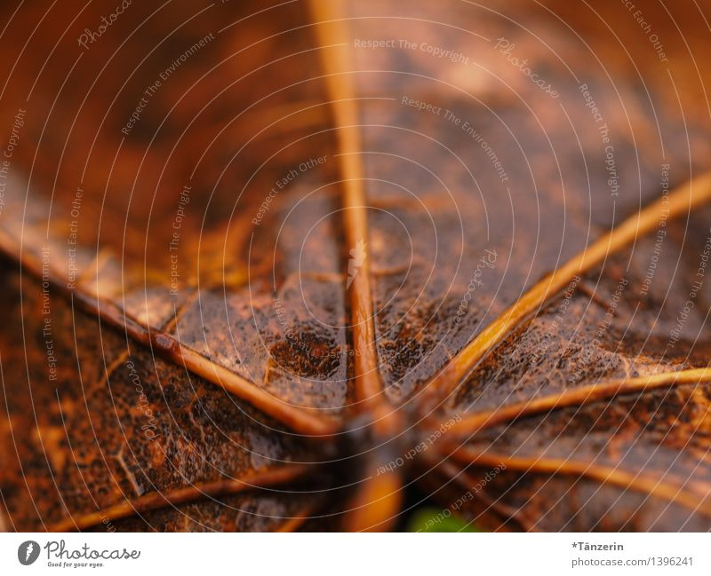 autumn leaf Nature Plant Water Autumn Bad weather Rain Leaf Wet Natural Brown Colour photo Subdued colour Exterior shot Macro (Extreme close-up) Deserted Day
