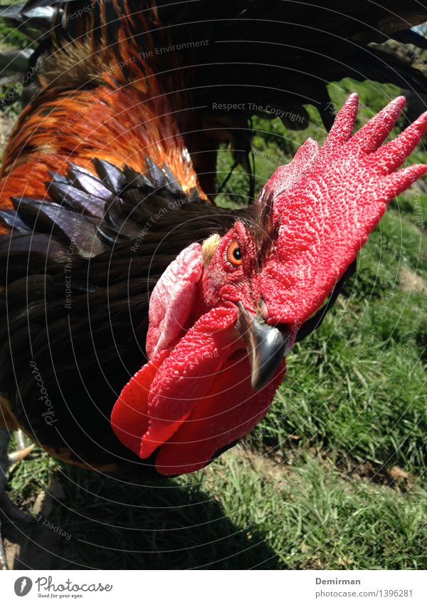 Who's the rooster in this house? Animal chicken Rooster 1 Aggression Threat Brash fowls Barn Colour photo Looking