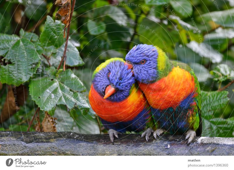 male friendship Bad weather Rain Tree Leaf Garden Animal Bird 2 Pair of animals Rutting season Crawl Cuddly Blue Brown Multicoloured Yellow Green Orange Red