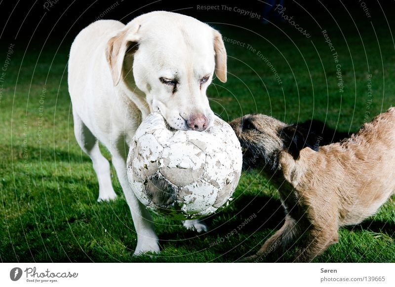 Nutrition Animal Playing Dog Soccer Might Brave Argument Fight Bite Possessions Labrador Terrier Animal training Power struggle