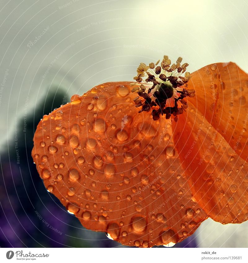 decay Decline Poppy Blossom Wet Red Flower Rain Grief Stalk Delicate Vulnerable Derelict Distress Drops of water Walking To fall fall apart Orange
