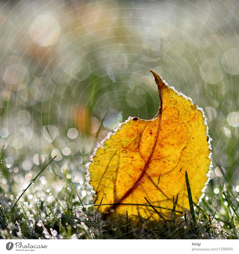 hoarfrosty Environment Nature Plant Autumn Beautiful weather Ice Frost Grass Leaf Garden Freeze Glittering Illuminate Lie Esthetic Exceptional Uniqueness Cold