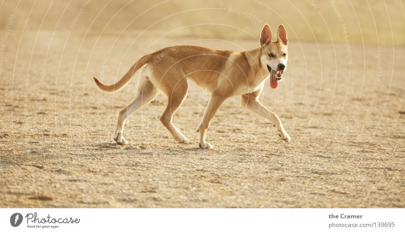 Summer Far-off places Animal Yellow Sand Dog Earth Gold Desert Set of teeth Listening Upward Watchfulness Odor Brash
