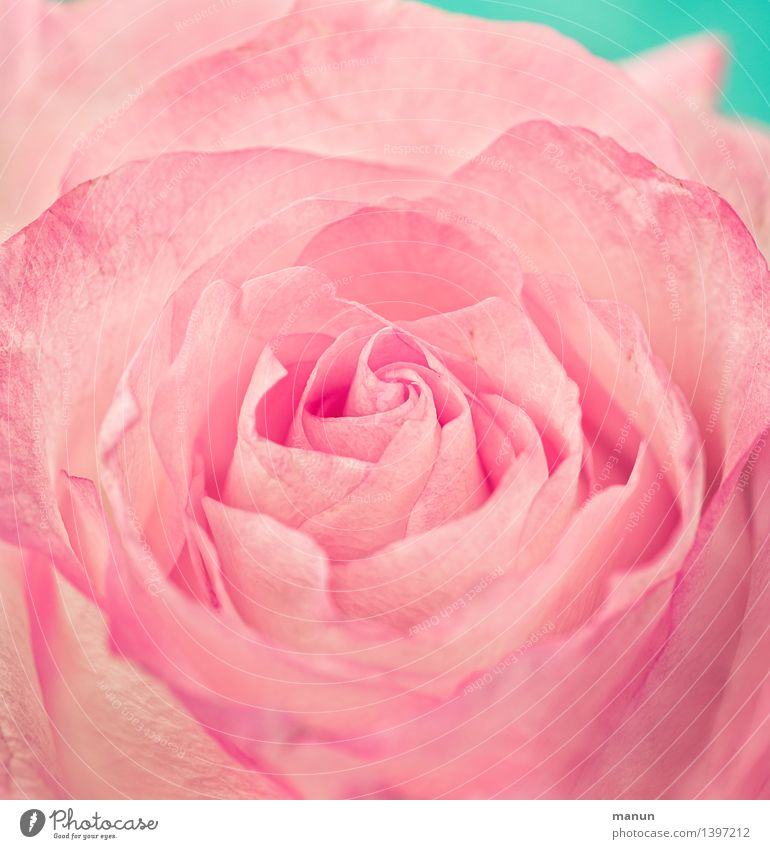 Pink Rose Elegant Beautiful Fragrance Nature Flower Blossom Positive Delicate Colour photo Close-up Detail Deserted