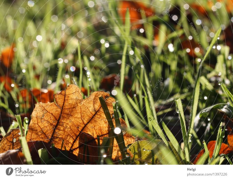 autumnal Environment Nature Plant Drops of water Autumn Grass Leaf Rachis Meadow Glittering Illuminate Lie To dry up Authentic Uniqueness Small Wet Natural