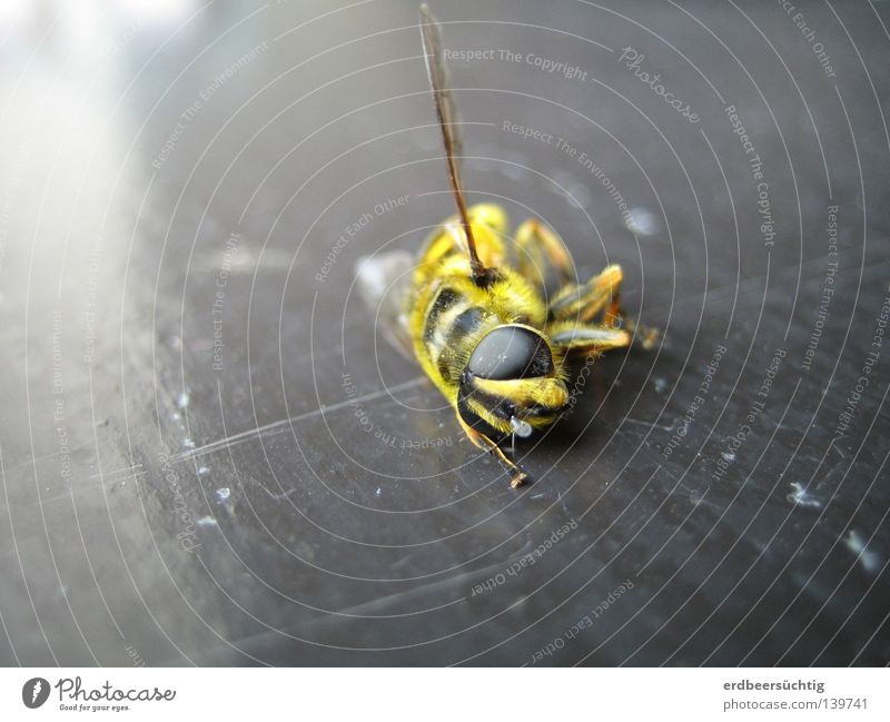 R.I.P. Wasps Insect Window Light Animal Nuisance Summer Beautiful Gourmet Pierce Yellow Black Compound eye Annoy Death Past Recently Macro (Extreme close-up)