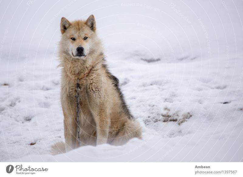Dog sledding in Greenland Vacation & Travel Nature Winter Natural Snow Sit Adventure Seasons Frost Beauty Photography Pet Frozen Mammal Nordic North