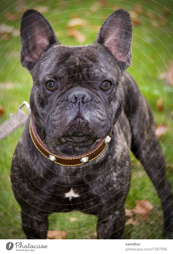 French Bulldog puppy Portrait Dog 1 Animal Baby animal Might Sympathy Watchfulness portrait curious Cute french alone Shot Pet ugly doggy Close-up