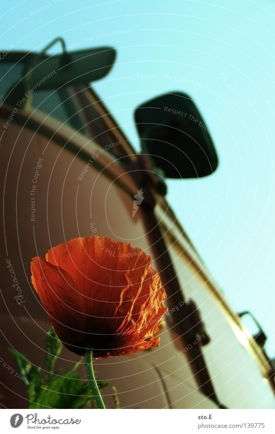 Nature Old Flower Plant Red Blossom Growth Things Blossoming Poppy Vehicle Driver's cab Redness