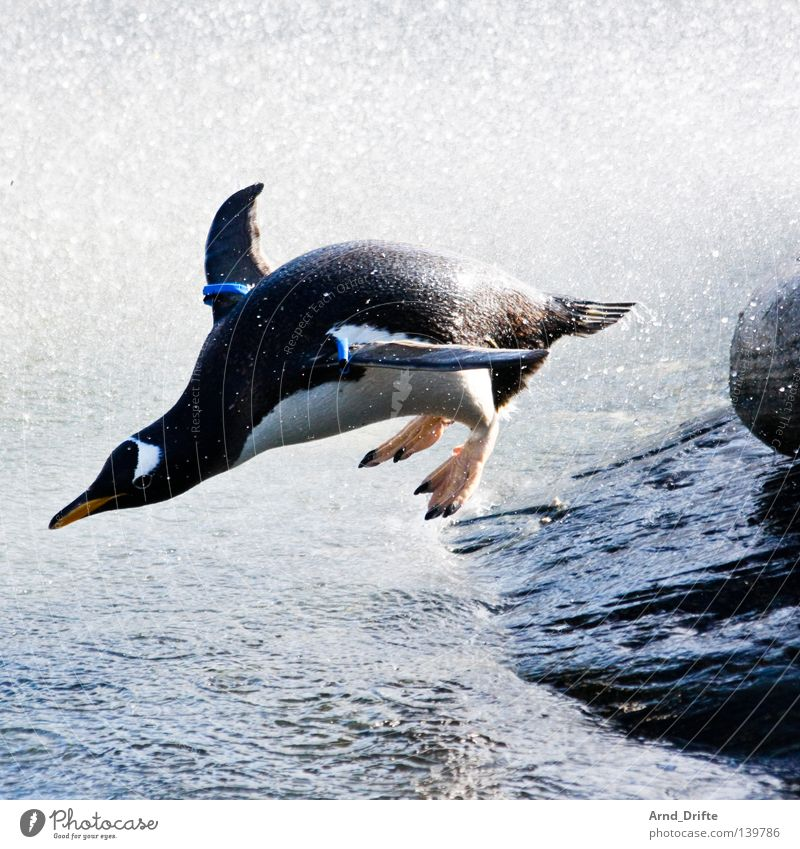 100 made! - I think I'm taking off! Animal White crest Hop Coast Ocean Penguin Jump Bird Waves Zoo Winter Water Stone