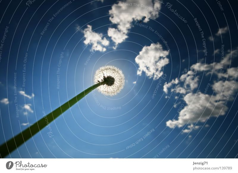 Solar eclipse. Clouds Summer Flower Dandelion Worm's-eye view Meadow Aspire Growth Stalk Wide angle Sky Sun Weather in the grass Lie Upward elongate